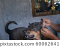 Thai dog is pat its head by human in the morning. 60062641