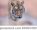 Walking Tiger portrait 60065490
