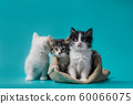 two fluffy kittens in a sack and one next to the bag on a turquoise background 60066075