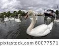 swan on thames river england 60077571