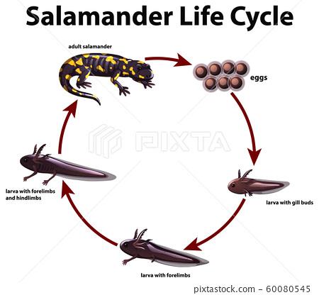 Diagram showing life cycle of salamander 60080545