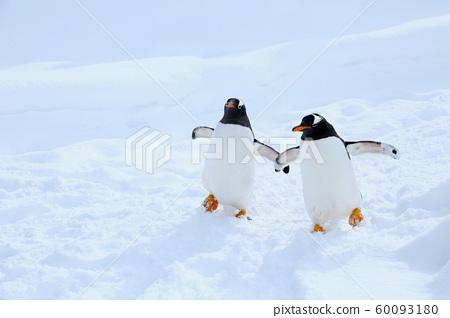 巴布亞企鵝 60093180