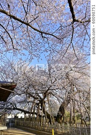 기타 모토시 石戸의 東光寺 경내의 왕 벚나무와 蒲桜 60098751