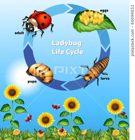 Diagram showing life cycle of ladybug 60099832