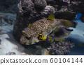 Arothron Hispidus fish on coral background in aquarium 60104144