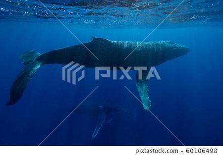 Humpback whales 60106498