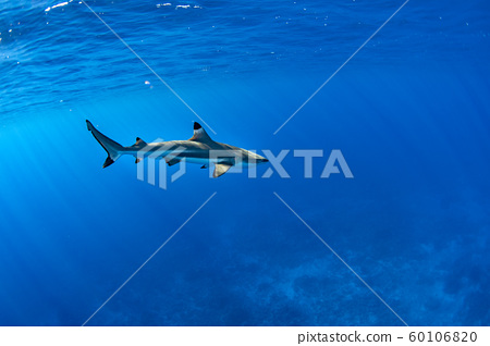 swimming with sharks in blue ocean of polynesia 60106820