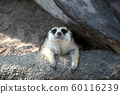 Image of a Meerkat or Suricate on nature background. Wild Animals. 60116239