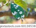 Powdery mildew leaves 60136538