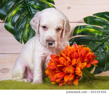 English setter puppy with flowers on green background 60145408