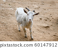 Young white goat with horns are gazing and smiling 60147912