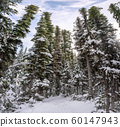 Snow covered pine trees with blue sky in winter 60147943