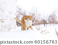 Fat red cat walks in the snow 60156763