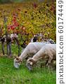Sustainable development, Flock of sheep grazing grass in Bordeaux Vineyard 60174449