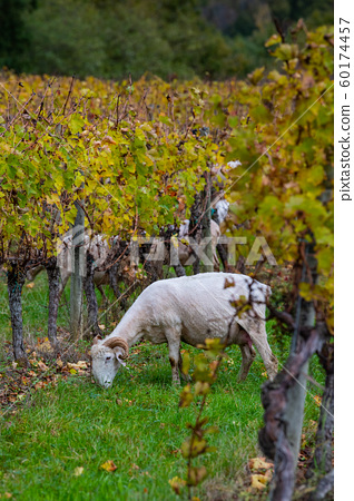 Sustainable development, Flock of sheep grazing grass in Bordeaux Vineyard 60174457