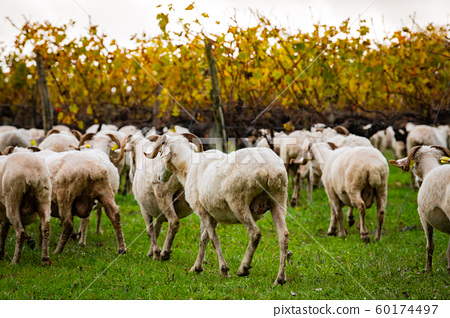 Sustainable development, Flock of sheep grazing grass in Bordeaux Vineyard 60174497