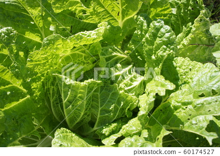 Chinese cabbage 60174527