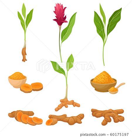 Different Parts Of Asian Curcuma Plant Vector Illustration Set 60175197