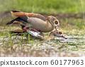Egyptian goose bird couple mating 60177963