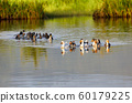 Domestic ducks to the river, Madagascar 60179225