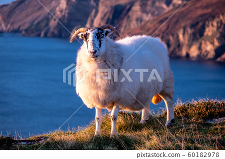 Sheep enjoying the sunset at the Slieve League cliffs in County Donegal, Ireland 60182978