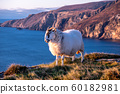 Sheep enjoying the sunset at the Slieve League cliffs in County Donegal, Ireland 60182981