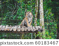 a wild tiger resting on the tree in the jungle. a big cat sitting on fence in the zoo 60183467
