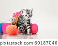 grey beautiful little kitten 60187046