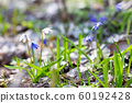 fragile white snowdrops in the spring forest . The 60192428