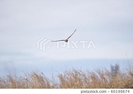 A female type of gray porch (Hokkaido) 60198674