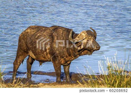 African buffalo in Kruger National park, South 60208692