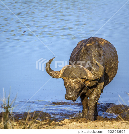 African buffalo in Kruger National park, South 60208693