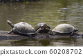 angulate tortoise in Kruger National park, South 60208702