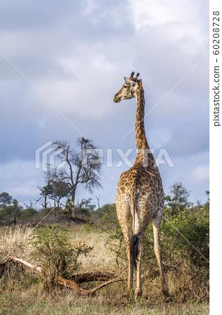 Giraffe in Kruger National park, South Africa 60208728