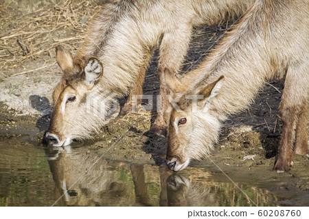 Waterbuck in Kruger National park, South Africa 60208760