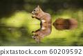 Eurasian red squirrel (Sciurus vulgaris) 60209592