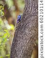 black-necked agama in Kruger National park, South 60210114