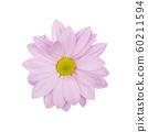 lilac daisy, chamomile or chrysanthemum macro photo 60211594