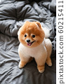 Cute young fluffy hair Pomeranian dogs sit on cozy bed with very happy face 60215411