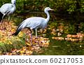 The Blue Crane, Grus paradisea, is an endangered 60217053