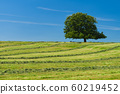 Lone oak tree grown on top of a hill covered with freshly cut grass 60219452