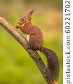 Red squirrel eating on branch 60221702