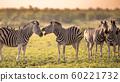 Four Common Zebra grooming on savanna 60221732