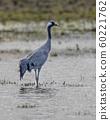 Eurasian crane 60221762