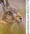 Close up Portrait of vigilant European Hare in 60221779
