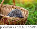 Hedgehog (Erinaceus Europaeus) in a basket 60222495