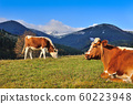 Brown cows with a white pattern on a mountain 60223948