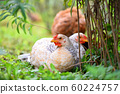 Hens sitting on the green grass.  60224757