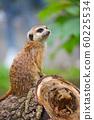 Meerkat family member (Suricata suricatta) 60225534