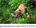 South American Coati (Nasua) 60225541